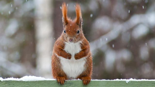 Ein Eichhörnchen im Winter.
