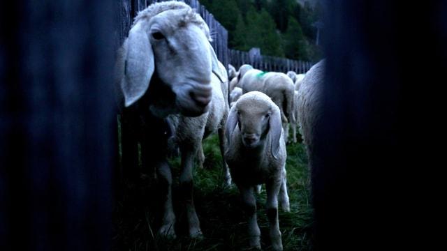 Schafe in der Nacht in einem Gehege