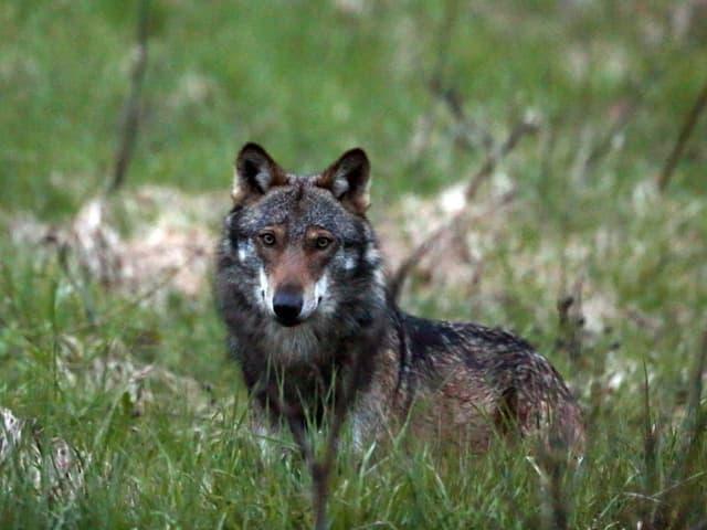Wolf in einem Feld.