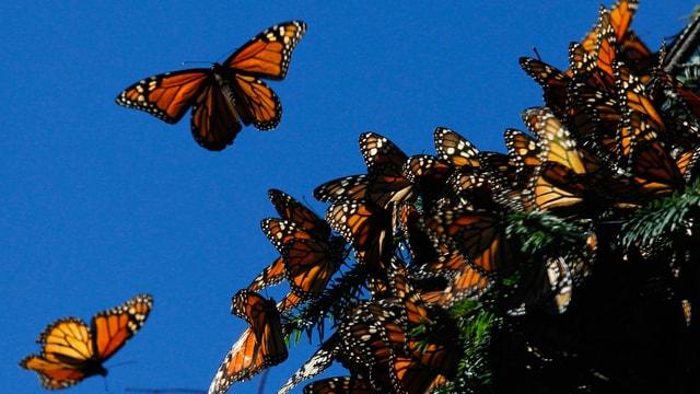 Unzählige Monarchfalter auf dem Ast eines Nadelbaums.