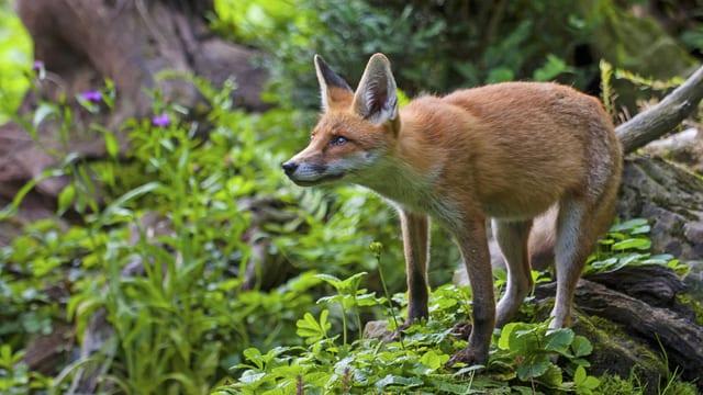 Fuchs im Wald.