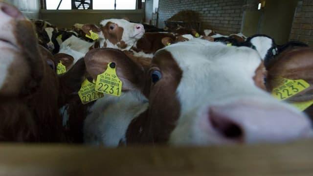 Rinder in einem Stall schauen über einen Zaun.