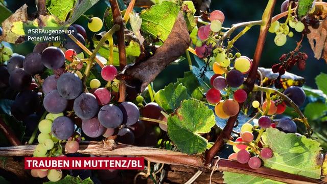 Weintrauben an einem Strauch in der Sonne