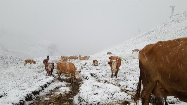 Kühe trotten planlos durch die angezuckerte Ladnschaft.