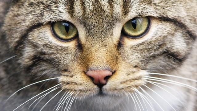 Video «Wildkatzen - eine haarige Geschichte - 07.01.2010» abspielen