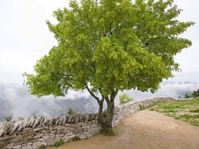 Relatic kleiner Ahorn-Baum vor einer Steinmauer