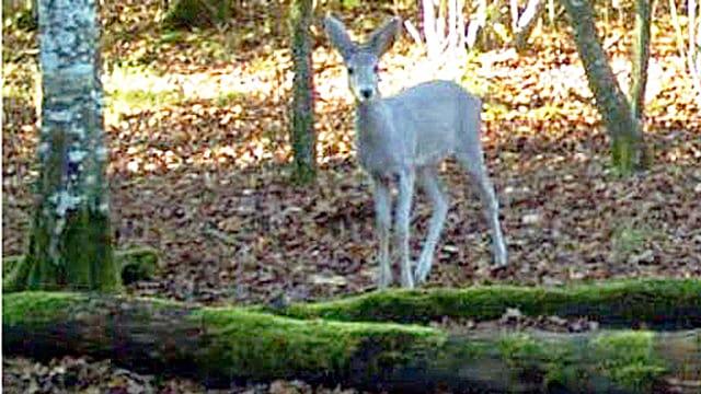 Ein weisses Reh steht im Laub und schaut scheu in die Fotofalle des Genfer Departements für Landwirtschaft und Natur.