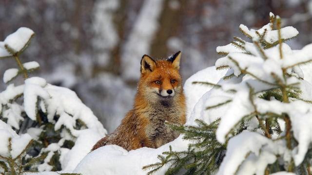Fuchs im Schnee.