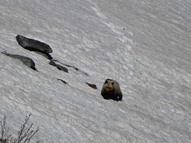 Der Bär auf einem Schneefeld.