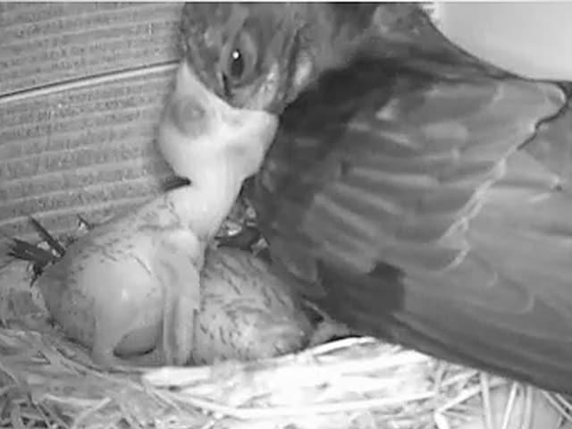 Fütterung des Jungvogels.