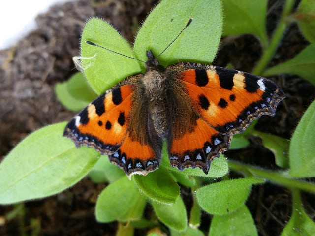 Kleiner Fuchs als Schmetterling