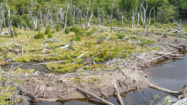 Ein Wald mit vielen toten Bäumen