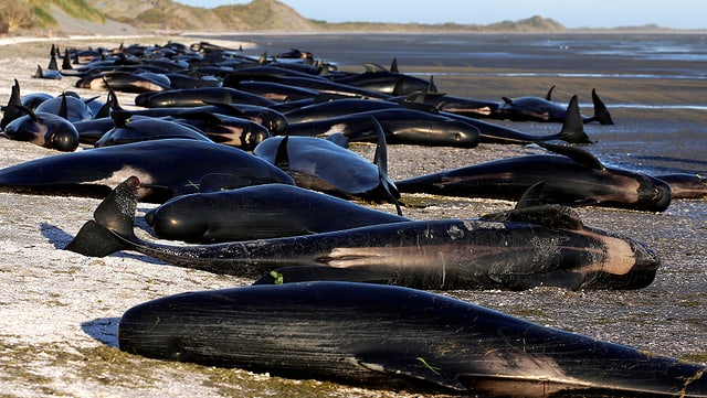 Schwarze Wale liegen am Strand.