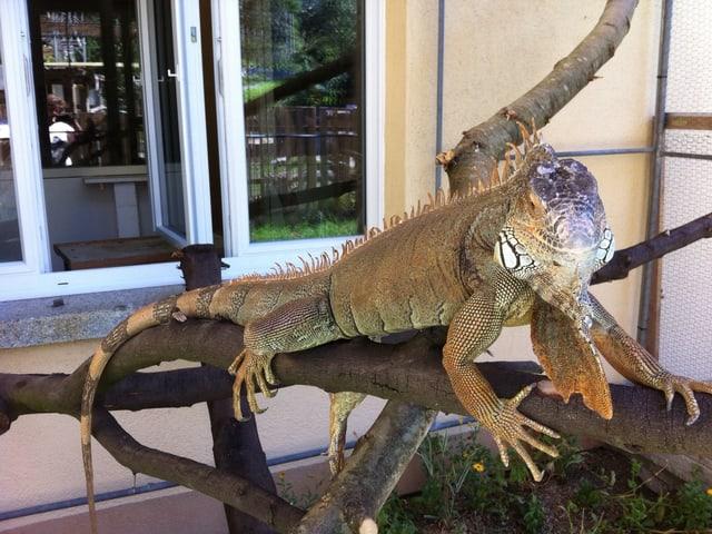 Ein prächtiges Leguanen-Exemplar lebt bei Franziska von Ballmoos.