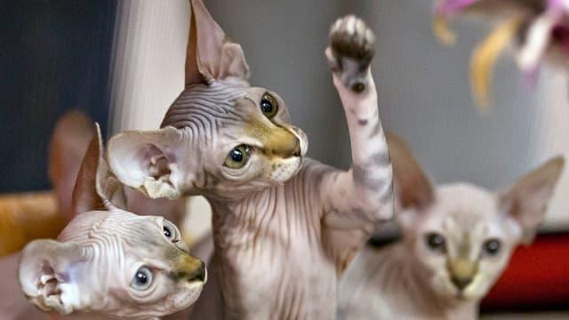Sphynx-Katzen