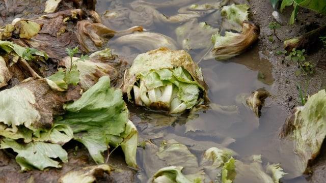 Brauner Salat liegt auf Feld in Wasserpfütze