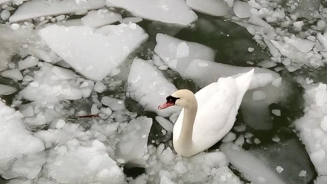 Ein Schwan im Eis.