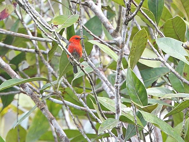 Ein roter Vogel in einem Gebüsch.