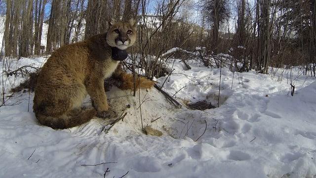 Junger Puma mit Sendehalsband itzt im Schnee und schaut in die Kamera