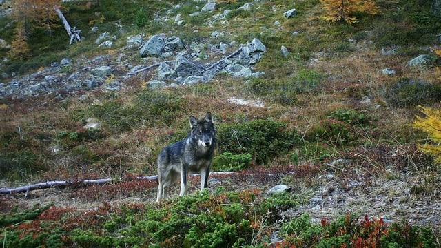 Die Wölfe greifen immer wieder auch Nutztiere an und sind so den Bauern ein Dorn im Auge.