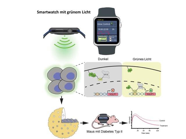 Eine Abbildung der ETH die zeigt wie die Zellen auf das Grünlicht reagieren.