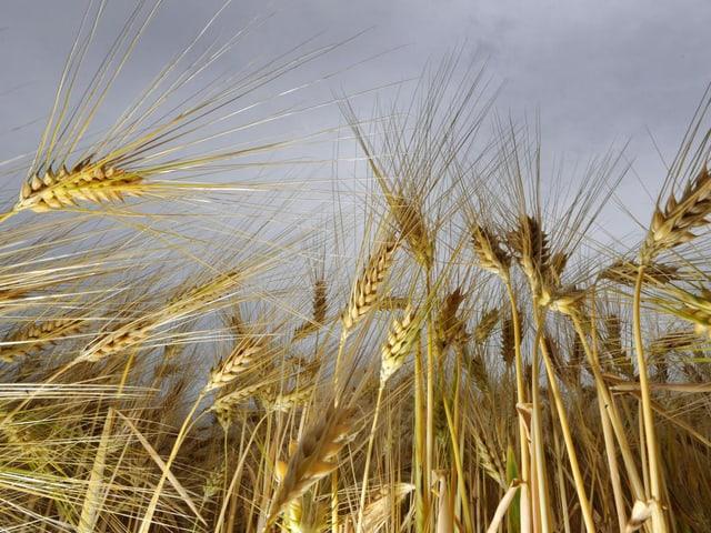 Gerste enthält wie Quinoa viele hochwertige Fett- und Aminosäuren.