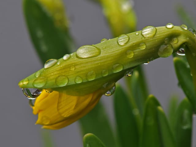 Ein  Märzenbecher wartet auf das Aufblühen Regentropfen liegen auf der Pflanze.