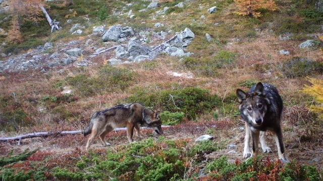 Zwei Wölfe im Wald.