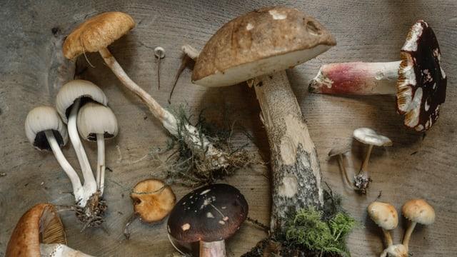 verschiedene gesammelte Pilze auf einem Holztisch