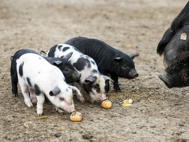 Alpenschweine können ganz verschiedene Zeichnungen haben.
