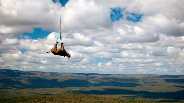 Symbolbild: Ein Nashorn hängt kopfüber an einem Transportseil eines Helikopters.