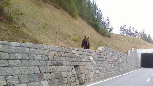 L'urs è vegnì fotografà questa damaun en la vischinanza da Zernez sin in mir sper la strada.