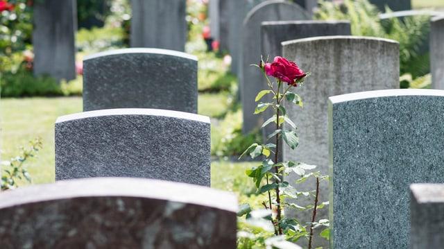 Grabsteine, dazwischen eine Rose