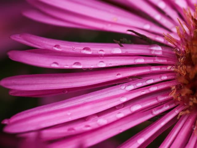 Auf einer lila Blüte sind Regentropfen zu sehen.