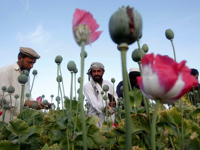 Afghanische Arbeiter auf Mohnfeld