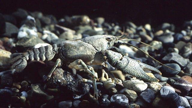 Der einheimische Steinkrebs ist verschwunden oder zu isolierten Restbeständen geschrumpft.