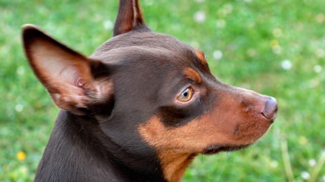 Kopf eines Hundes