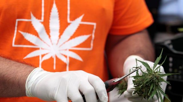 Um cun plantina da cannabis.