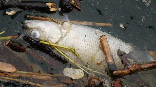 Ein toter Fisch im Rhein.