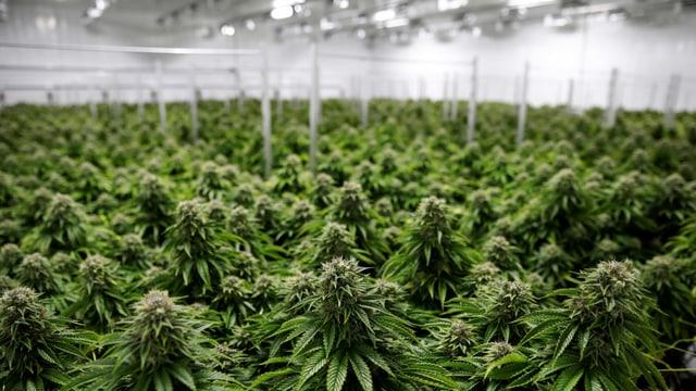 Marihuana-Plantage.