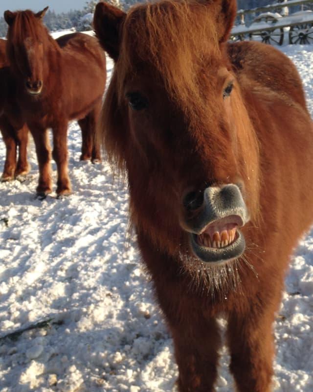 Pferd zieht seine Lippen hoch.