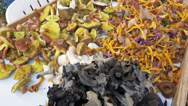 Vier verschiedene Pilzsorten, säuberlich nach Sorten getrennt.
