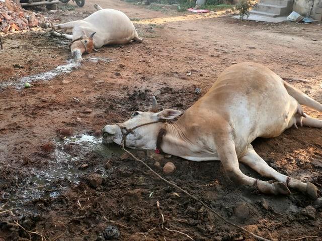 Verendete Kühe nach Gasunglück in Indien