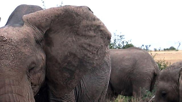 Drei Elefanten im kenianischen Amboseli National Park