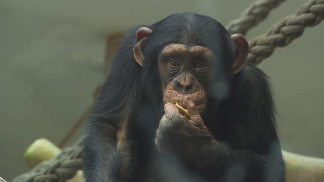 Das kleine Affenmädchen Garissa nascht Obst.