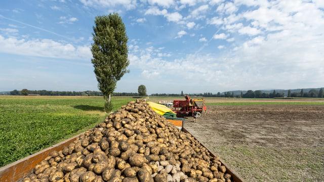 Kartoffelernte in der Schweiz.