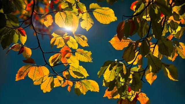 Verschiedenfarbige Blätter an einem Laubbaum bei Interlaken.