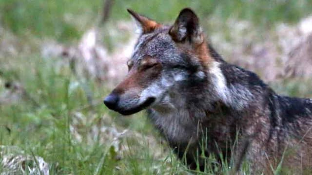 """Ein Wolf, mutmasslich """"M35"""", beim Dorfeingang von Bellwald im Obergoms, Wallis."""