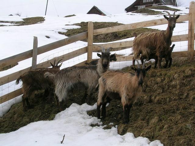 Stiefelgeissen – Impressionen von der Wart im Toggenburg.