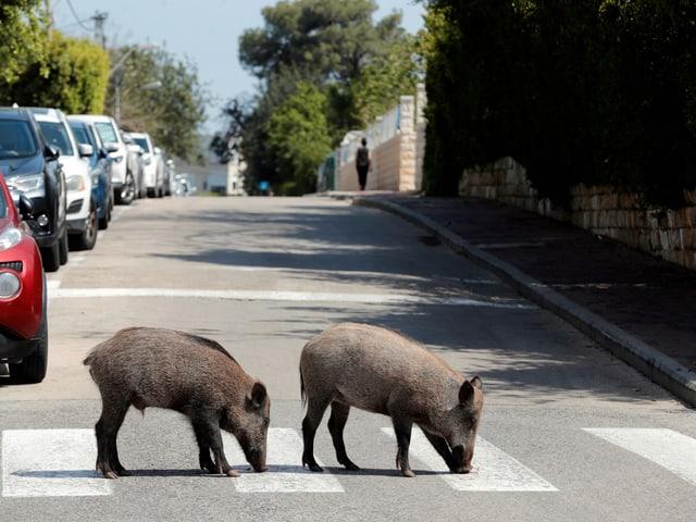 Wildschweine in Haifa